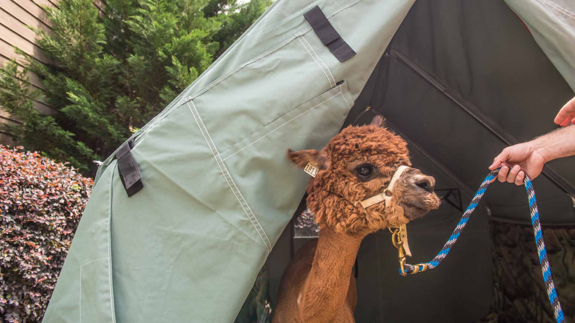 Tent with llama